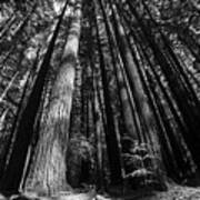Armstrong National Park Redwoods Filtered Sun Black And White Art Print