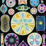 Art Of Diatom Algae (from Ernst Haeckel) Art Print by Mehau Kulyk