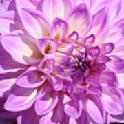 Art Prints Dahlia Flower Decorative Art Garden Baslee Art Print