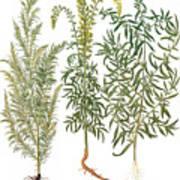 Artemisiae & Reseda Art Print