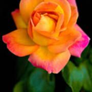 Arundel Rose Art Print