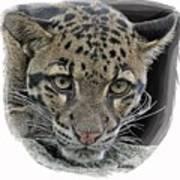 Asian Cloud Leopard Art Print