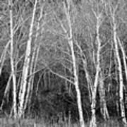 Aspen Forest Black And White Print Art Print