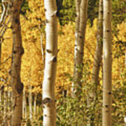 Aspen Gold Art Print by James BO  Insogna