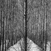 Aspen Rows Art Print