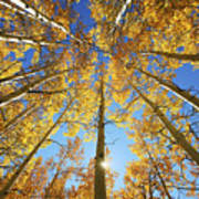 Aspen Tree Canopy 2 Art Print