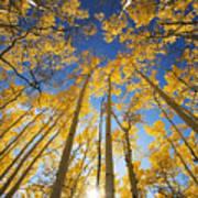 Aspen Tree Canopy 3 Art Print