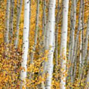 Aspen With Fall Color Art Print