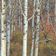 Aspens At Dusk Art Print