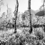 Aspens Black And White Art Print