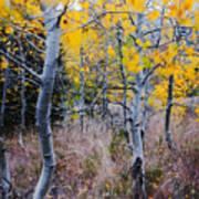Aspens In Autumn Art Print