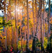 Aspens In Fall Color Art Print