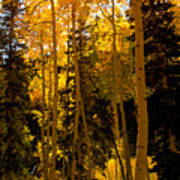 Aspens In Fall Art Print