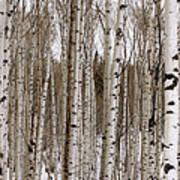 Aspens In Winter Panorama - Colorado Art Print