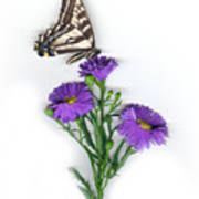 Aster And Butterfly Art Print