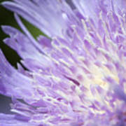 Aster Bloom Art Print