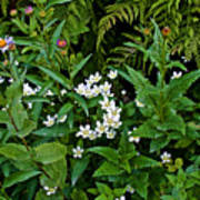 Asters And Fringed Grass-of-parnassus And Red Monkeyflowers On Highline Trail In Glacier National Pa Art Print