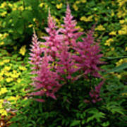 Astillbe In Light And Shadow Art Print
