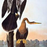 Audubon: Anhinga Art Print