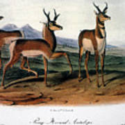 Audubon: Antelope, 1846 Art Print
