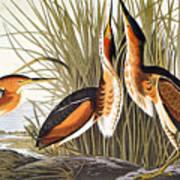 Audubon: Bittern Art Print
