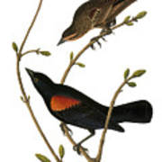 Audubon: Blackbird Art Print