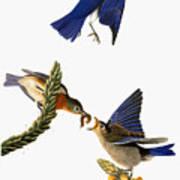 Audubon: Bluebird Art Print