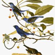 Audubon: Bunting, 1827-38 Art Print