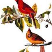 Audubon: Cardinal Art Print