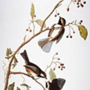 Audubon: Chickadee, (1827-1838) Art Print