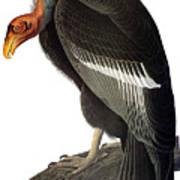 Audubon: Condor Art Print