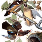 Audubon: Duck Art Print
