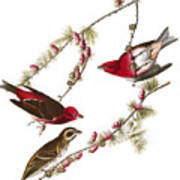 Audubon: Finch, (1827-38) Art Print