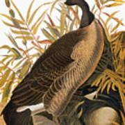 Audubon: Goose Art Print