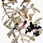 Audubon: Grosbeak Art Print