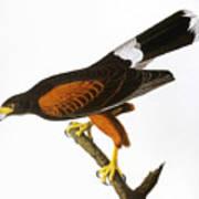 Audubon: Hawk, 1827 Art Print