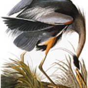 Audubon Heron Art Print