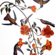 Audubon: Hummingbird Art Print by Granger