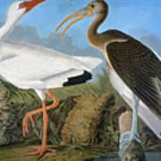 Audubon: Ibis Art Print