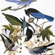 Audubon: Jay And Magpie Art Print