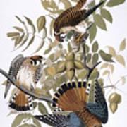Audubon: Kestrel, 1827 Art Print
