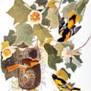 Audubon: Oriole Art Print