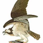 Audubon: Osprey Art Print
