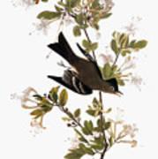 Audubon: Pewee, 1827-38 Art Print