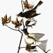 Audubon: Phoebe Art Print