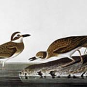 Audubon: Plover, 1827-38 Art Print