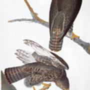 Audubon: Red-tailed Hawk Art Print
