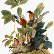 Audubon: Robin Art Print