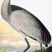 Audubon Sandhill Crane Art Print
