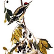 Audubon Sapsucker, 1827-38 Art Print